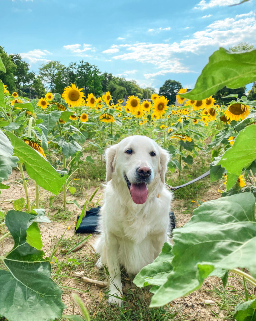 dog in a sunflower field